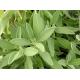 Salvia in Polvere